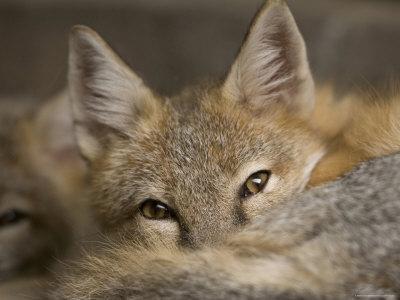 Swift Fox at the Omaha Zoo, Nebraska-Joel Sartore-Framed Photographic Print