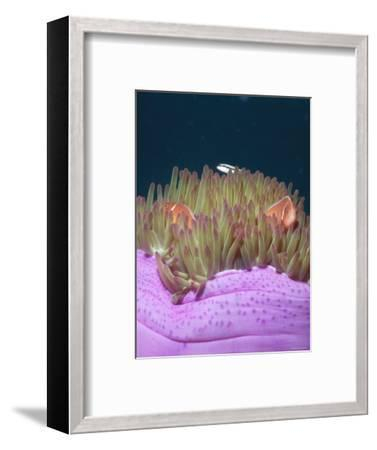 Solomon Islands Amphiprion Perideraion Anemonefish Clown Fish Close-Up-James Forte-Framed Photographic Print