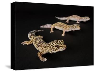 Three Female Leopard Geckos at the Zoo, Sunset Zoo, Kansas-Joel Sartore-Stretched Canvas Print