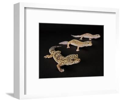 Three Female Leopard Geckos at the Zoo, Sunset Zoo, Kansas-Joel Sartore-Framed Photographic Print