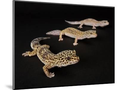 Three Female Leopard Geckos at the Zoo, Sunset Zoo, Kansas-Joel Sartore-Mounted Photographic Print