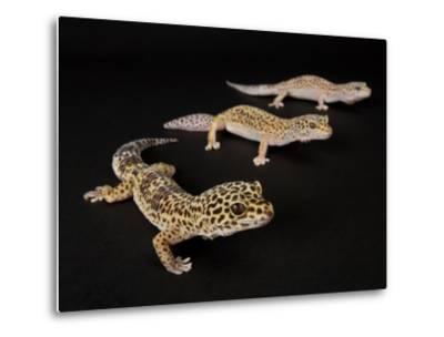 Three Female Leopard Geckos at the Zoo, Sunset Zoo, Kansas-Joel Sartore-Metal Print