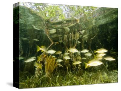 School of Snappers Shelters Among Mangrove Roots, Belize-Tim Laman-Stretched Canvas Print