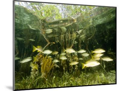 School of Snappers Shelters Among Mangrove Roots, Belize-Tim Laman-Mounted Photographic Print
