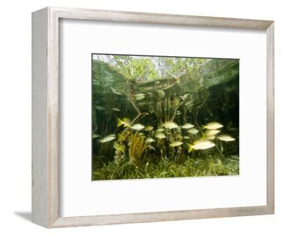 School of Snappers Shelters Among Mangrove Roots, Belize-Tim Laman-Framed Photographic Print
