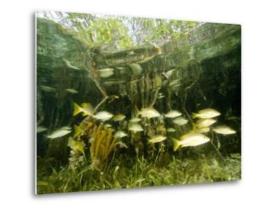 School of Snappers Shelters Among Mangrove Roots, Belize-Tim Laman-Metal Print