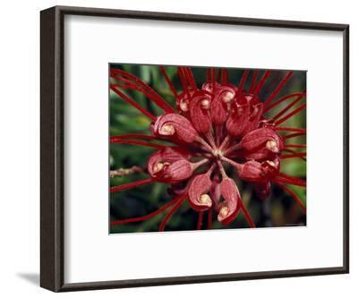 Startling Bright Red Grevillea Flower Petals, Pollen and Stamen, North Carlton, Australia-Jason Edwards-Framed Photographic Print