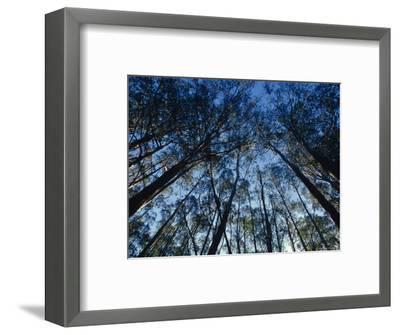 Sunlight Falling Through the Mountain Ash Eucalypt Forest Canopy, Alpine Nationals Park, Australia-Jason Edwards-Framed Photographic Print