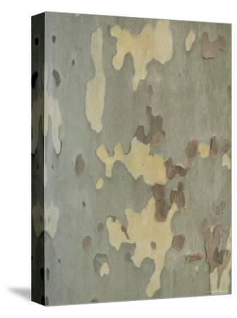Sycamore Trees in St. Louis-Joel Sartore-Stretched Canvas Print