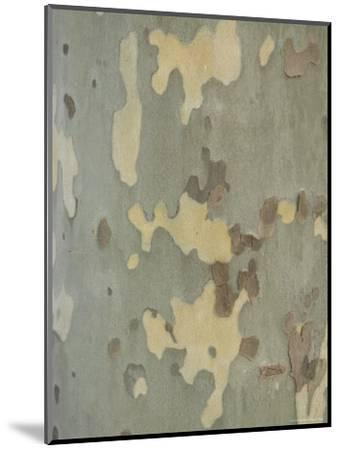 Sycamore Trees in St. Louis-Joel Sartore-Mounted Photographic Print