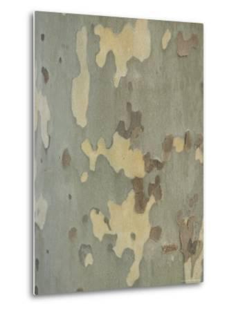 Sycamore Trees in St. Louis-Joel Sartore-Metal Print