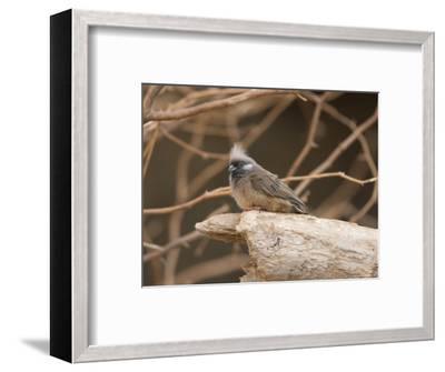 Towhee at the Omaha Zoo, Nebraska-Joel Sartore-Framed Photographic Print