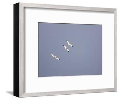 Three White Ibises White Ibis Soar over Tampa Bay-Tim Laman-Framed Photographic Print