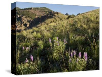 Sunrise and Spring Wildflowers, Colorado-Michael S^ Lewis-Stretched Canvas Print
