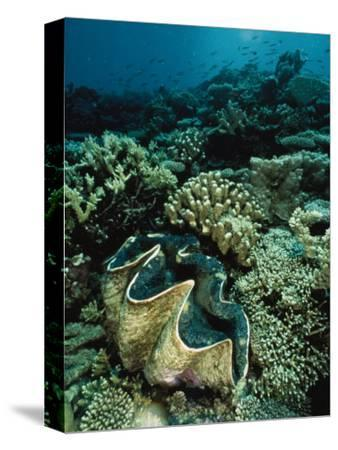 Underwater Vista of a Reef Off Bikini Atoll Reveals a Giant Clam and Various Corals-Bill Curtsinger-Stretched Canvas Print