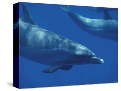 Spotted Dolphins, Hawaii-Bill Curtsinger-Stretched Canvas Print