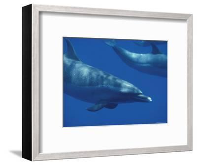 Spotted Dolphins, Hawaii-Bill Curtsinger-Framed Photographic Print