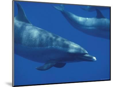 Spotted Dolphins, Hawaii-Bill Curtsinger-Mounted Photographic Print