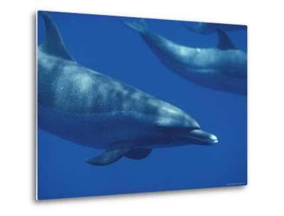 Spotted Dolphins, Hawaii-Bill Curtsinger-Metal Print