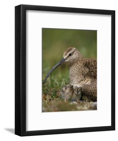 Whimbrel on Nest with Chick and Egg, Alaska-Michael S^ Quinton-Framed Photographic Print
