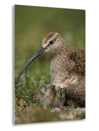 Whimbrel on Nest with Chick and Egg, Alaska-Michael S^ Quinton-Metal Print