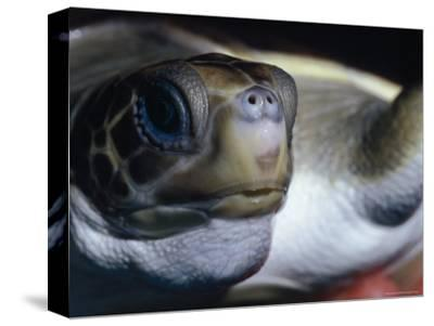 Vulnerable Flatback Sea Turtle Held in its Keepers Hands, Australia-Jason Edwards-Stretched Canvas Print