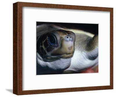Vulnerable Flatback Sea Turtle Held in its Keepers Hands, Australia-Jason Edwards-Framed Photographic Print