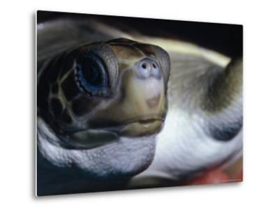 Vulnerable Flatback Sea Turtle Held in its Keepers Hands, Australia-Jason Edwards-Metal Print