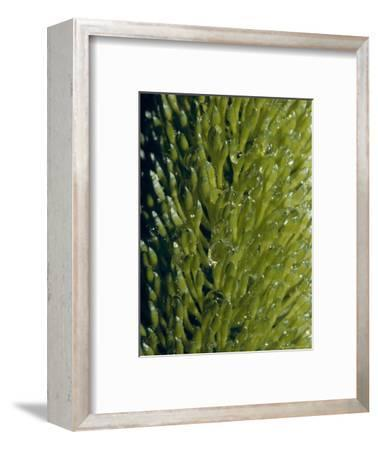 Water Drops Cling to the Unusual Petals of a Silver Banksia Flower, Australia-Jason Edwards-Framed Photographic Print