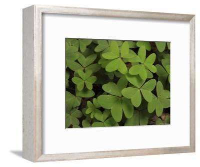 Wood Sorrel Shamrock-George Grall-Framed Photographic Print