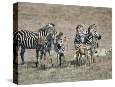 Zebras on the Hearst Castle Property, California-Rich Reid-Stretched Canvas Print
