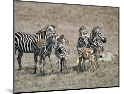 Zebras on the Hearst Castle Property, California-Rich Reid-Mounted Photographic Print