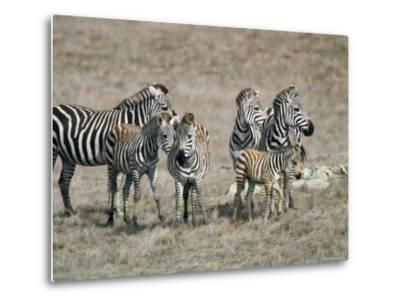 Zebras on the Hearst Castle Property, California-Rich Reid-Metal Print