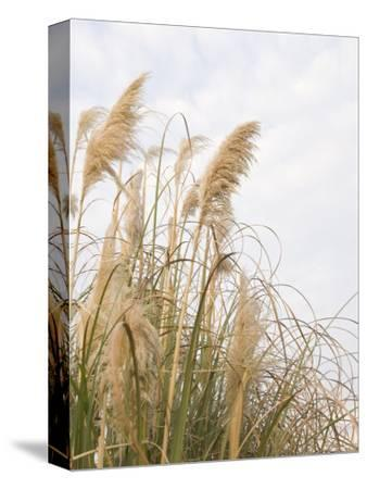Yellow Weeds Moving in Wind, California-James Forte-Stretched Canvas Print