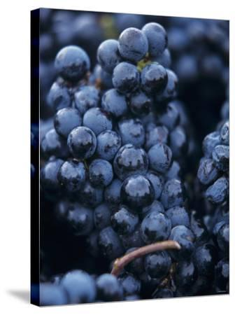 Cabernet-Sauvignon Grapes from Pomerol, France-Joerg Lehmann-Stretched Canvas Print
