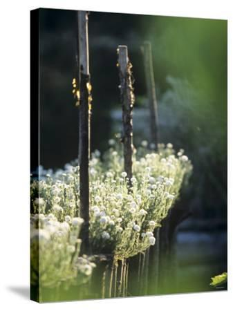 White Camomile in Garden-Joerg Lehmann-Stretched Canvas Print