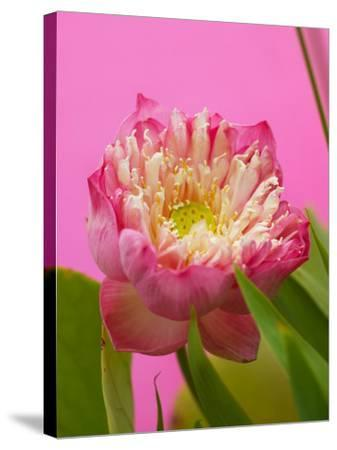 Lotus Blossom--Stretched Canvas Print