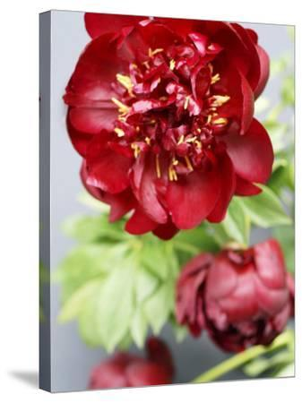 Red Peonies-Sebastian Vogt-Stretched Canvas Print