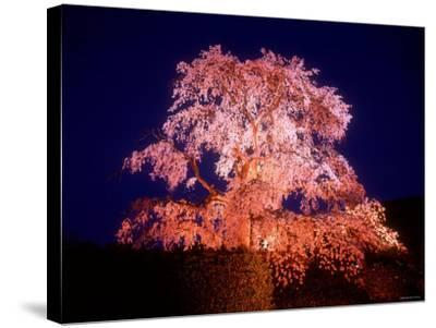 Cherry Blossoms by Night--Stretched Canvas Print