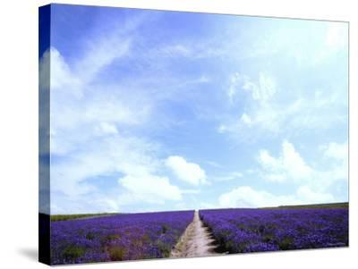 Lavender--Stretched Canvas Print