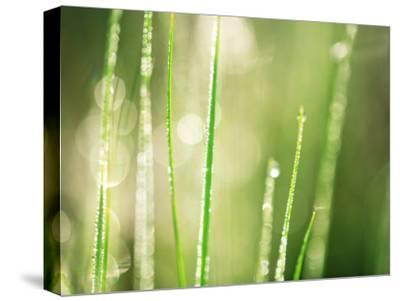 Morning Dew on Grass Leaves--Stretched Canvas Print