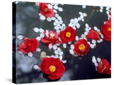 Camellias and Cherry Petals, Jingoji Temple, Kyoto, Japan--Stretched Canvas Print