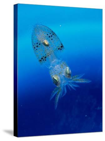 Baby Squid--Stretched Canvas Print