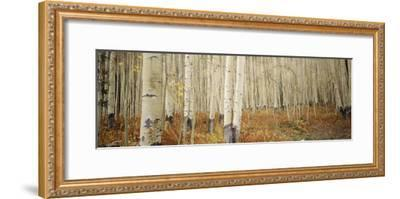 Aspen Trees in the Forest, Aspen, Colorado, USA--Framed Photographic Print