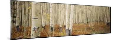 Aspen Trees in the Forest, Aspen, Colorado, USA--Mounted Photographic Print