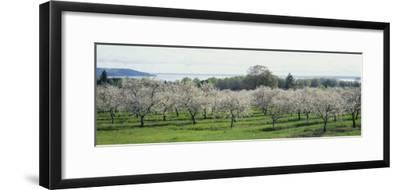 Cherry Trees in an Orchard, Mission Peninsula, Traverse City, Michigan, USA--Framed Photographic Print