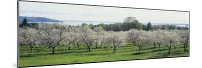 Cherry Trees in an Orchard, Mission Peninsula, Traverse City, Michigan, USA--Mounted Photographic Print