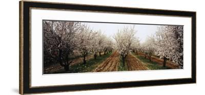 Almond Trees in an Orchard, Syria--Framed Photographic Print