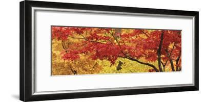 Autumnal Leaves on Maple Trees in a Forest--Framed Photographic Print