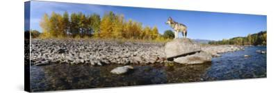 Wolf Standing on a Rock at the Riverbank, US Glacier National Park, Montana, USA--Stretched Canvas Print
